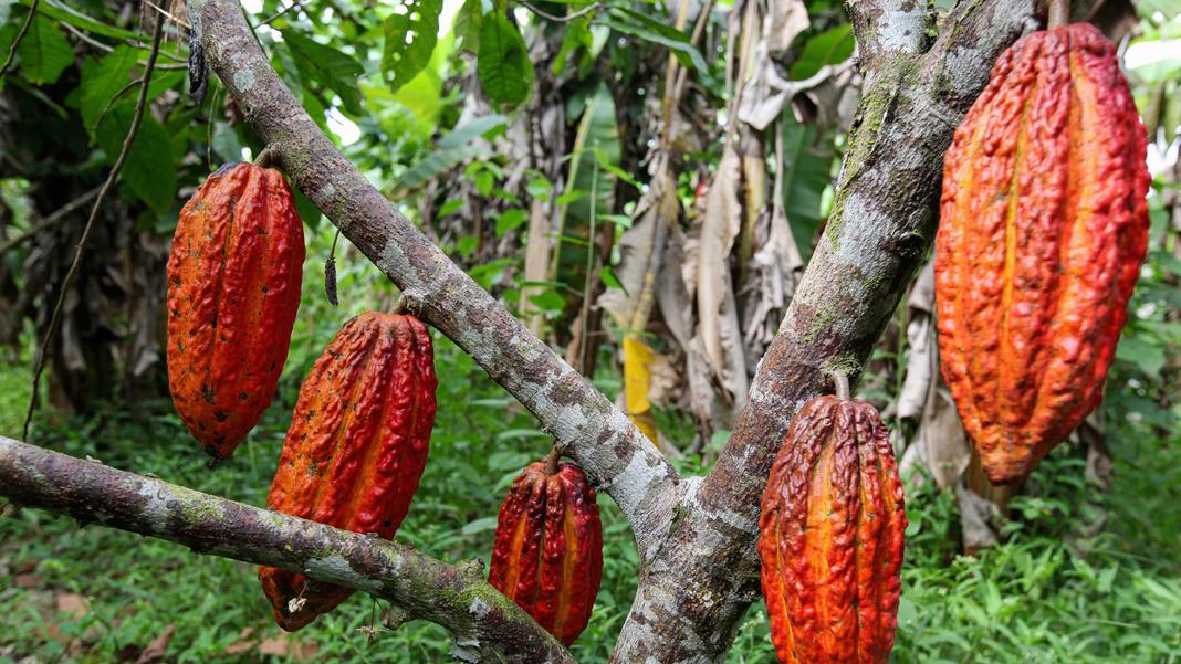 Piante Di Cacao : I cambiamenti climatici mettono in pericolo anche le