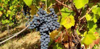Prodotti tipici locali, il vitigno Croatina dell'Oltrepò Pavese