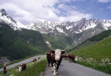 A Chiareggio si festeggia la transumanza, il ritorno a valle delle mandrie dagli alpeggi