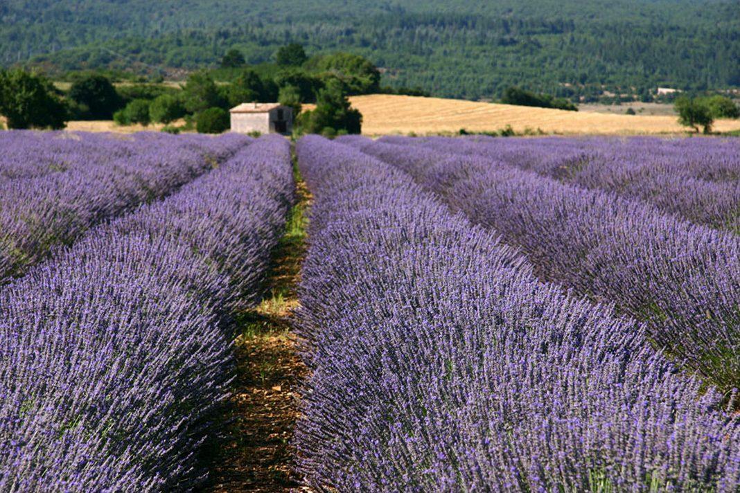 La Lavanda: quando l'Italia si tinge di violetto