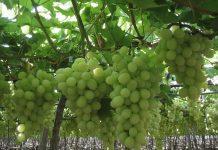 Il consumo di uva senza semi prende sempre più piede anche nel nostro Paese