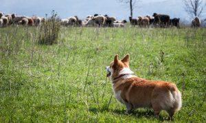 Carne in tavola, sempre meno, ma di migliore qualità, come il Welsh Lamb