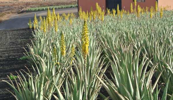 Aloe Vera-piantagione