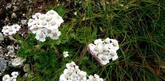 La Taneda, un tipico liquore digestivo valtellinese con le erbe d'alta quota