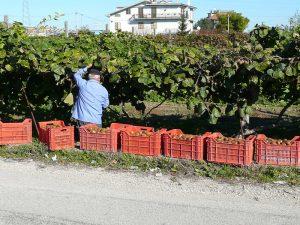 Kiwi, l'Italia primo produttore mondiale, superata anche la Nuova Zelanda