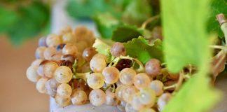 Ritrovata nel reggiano l'antica e autentica uva Spergola