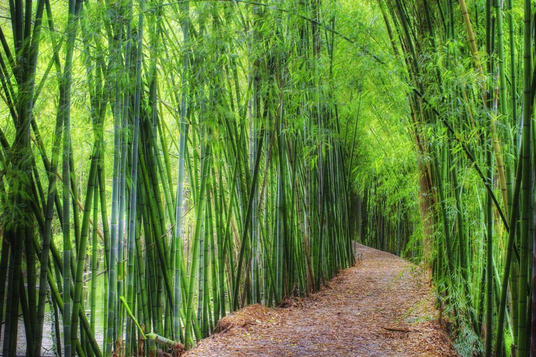 Coltivare Bamb Gigante In Italia.In Italia Cresce Il Business Del Bambu Che Sbarca Nella Gdo