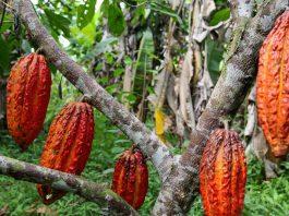 I cambiamenti climatici mettono in pericolo anche le piante di cacao