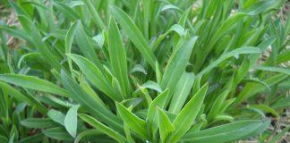 Gli Stridoli, ottima erba spontanea della Romagna