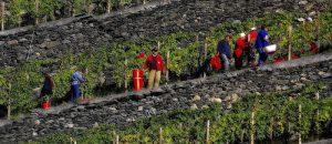 Prodotti tipici locali, il vino Sciur della Valtellina