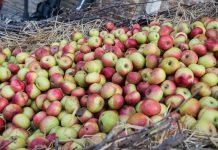 A Montedinove la mela rosa protagonista di Sibillini in Rosa