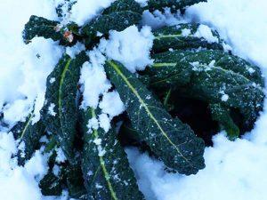 Prodotti tipici locali:  il cavolo nero riccio di Toscana Prodotti tipici locali:  il cavolo nero riccio di Toscana