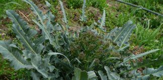 Il Broccolo fiolaro di Creazzo, dal vicentino all'orto della Casa Bianca