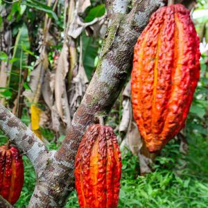 Dal Sigep arriva il cacao equo-solidale in tazzina come alternativa al caffè