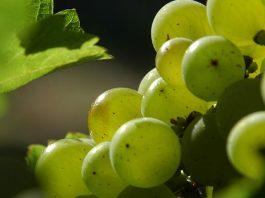 Al MoMeVi di Faenza l'innovazione varietale in viticoltura