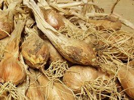scalogno di Romagna o Allium Ascalonicum