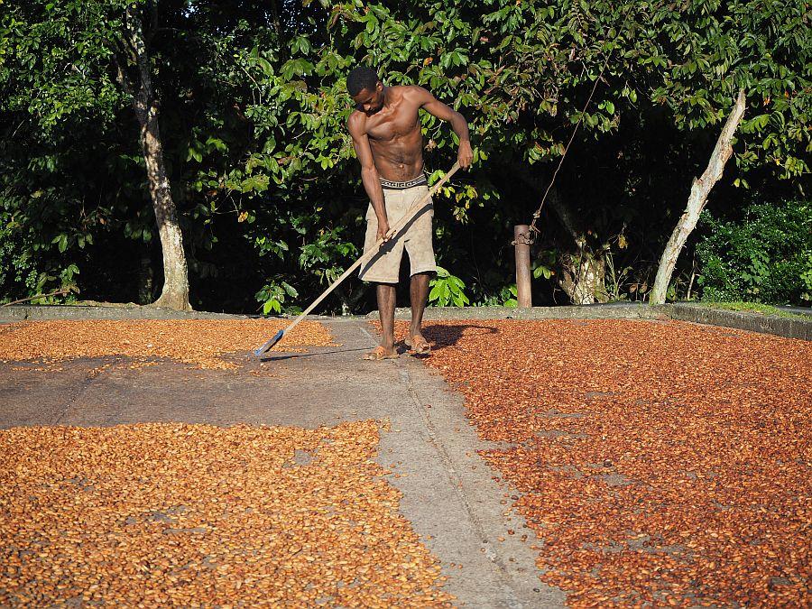 fave di cacao in essicazione