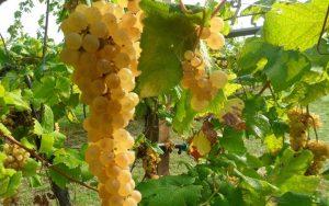 grappoli d'Albana