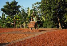 Essiccazione dei semi di cacao in Venezuela