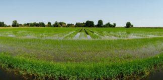 Il Riso del Delta del Po Igp incontra la cultura del bio