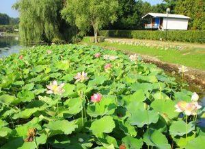 lago di Viverone piante lacustri