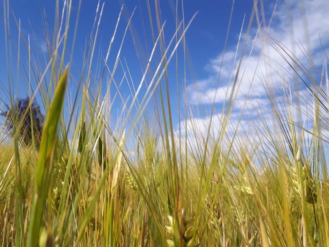 Campo di grano in Alta Langa. Credits: Ph Andrea Di-Bella.