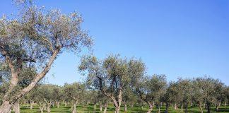 Oliveto Sardegna
