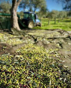 Raccolta 2020 olive