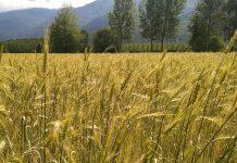 Campo di grano del Mulino Valsusa a Bruzolo